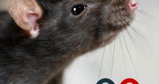 شركة مكافحة الفئران ببريده