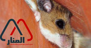 مكافحة الفئران بالمجمعه