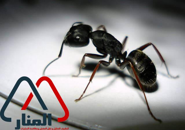 شركة مكافحة النمل الاسود بالمجمعه