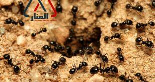 شركة مكافحة النمل الاسود بالمذنب وبالغاط