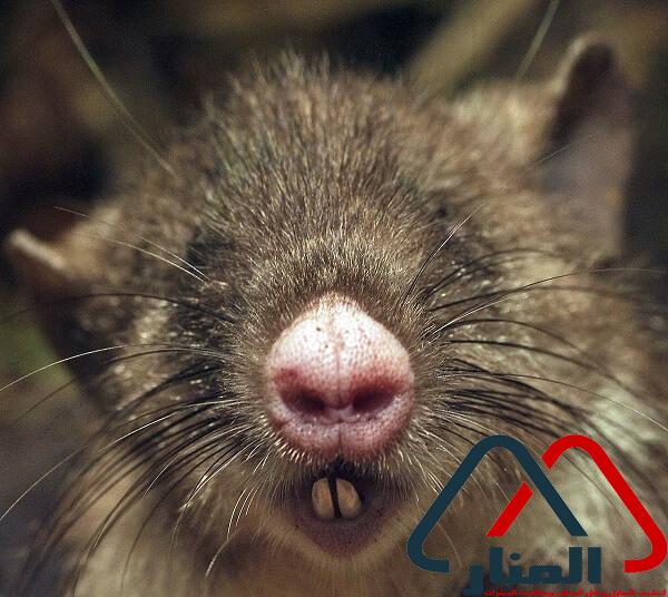 شركة مكافحة الفئران والقوارض بالامارات