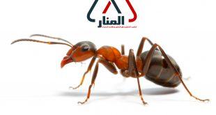 شركة مكافحة النمل الاسود بالاسياح ورياض الخبراء