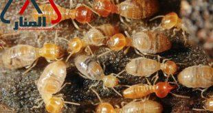 شركة مكافحة النمل الابيض بالرس وبعنيزه