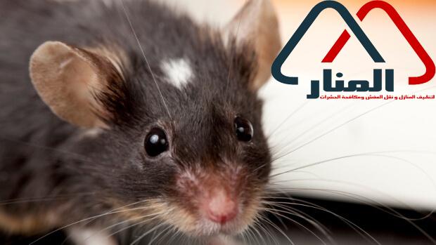 شركة مكافحة الفئران بالرس وبعنيزه