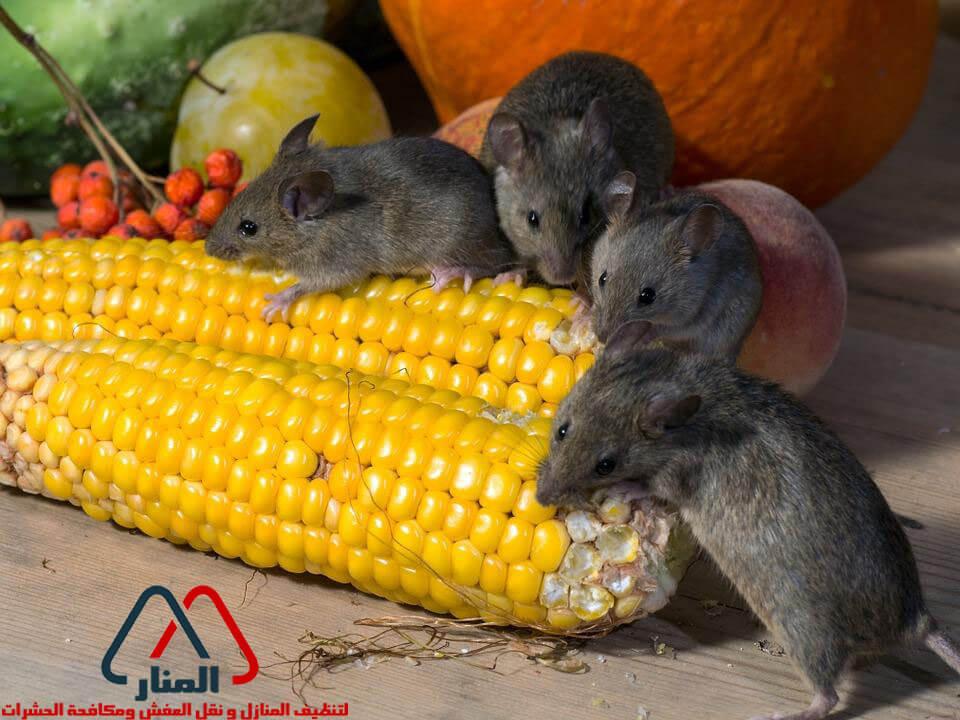 الفئران والامراض المصاحبه لها وطرق التخلص منها