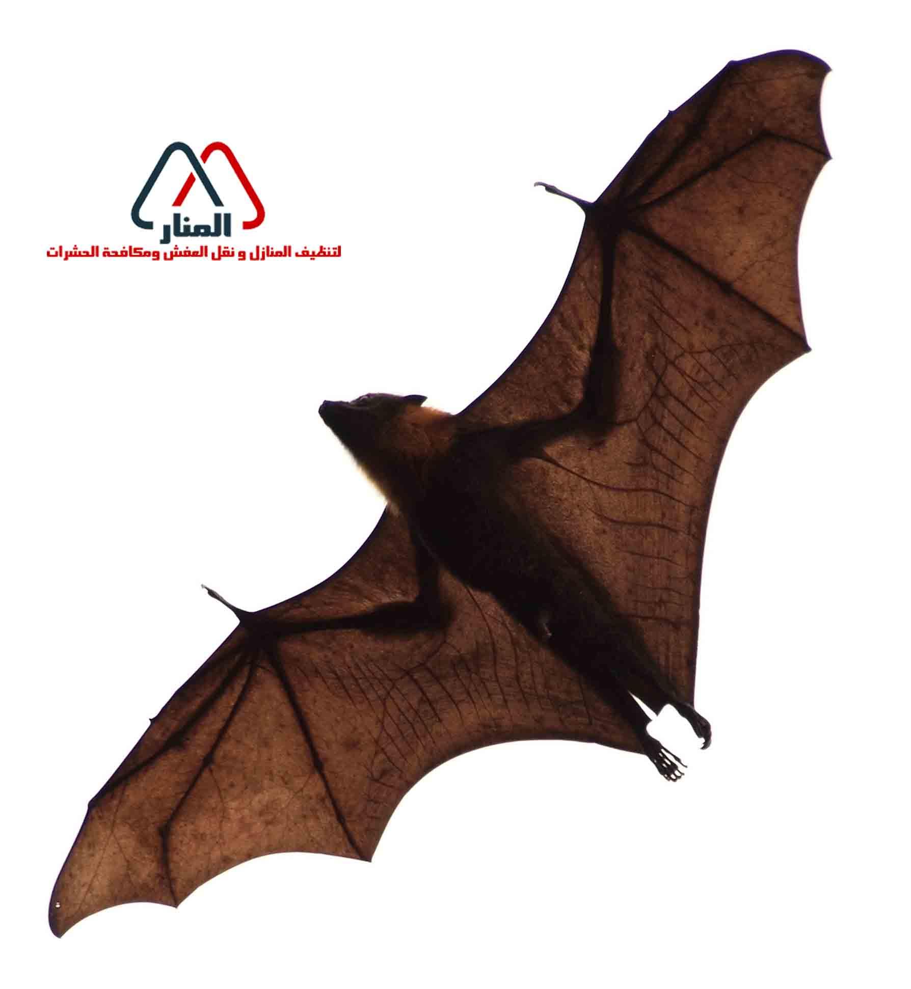 الخفافيش واضرارها علي الإنسان