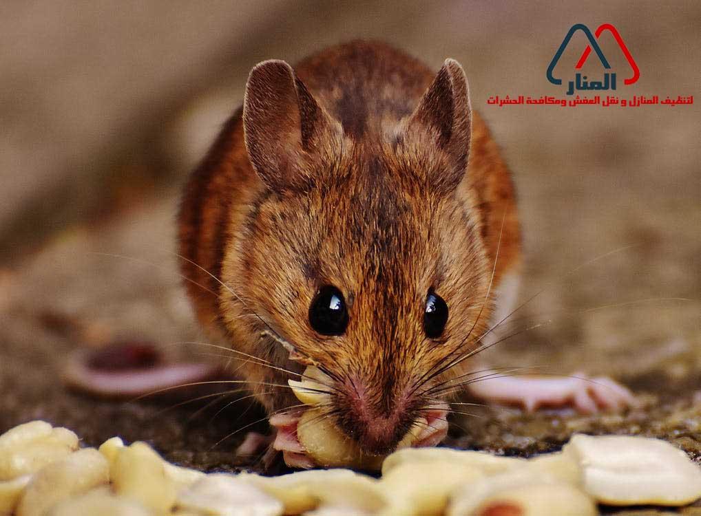 الفئران و أضرارها علي البيئه