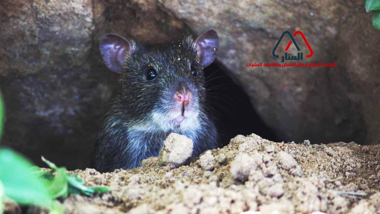 الفئران وطرق الوقايه منها