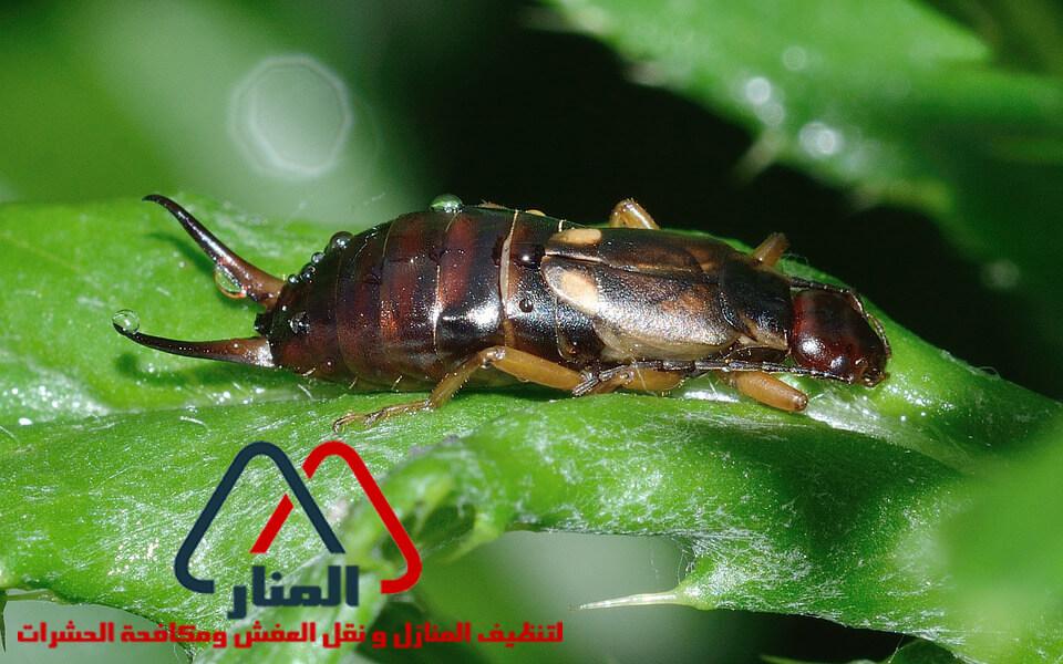 حشرة أبو مقص و كيفية التخلص منها