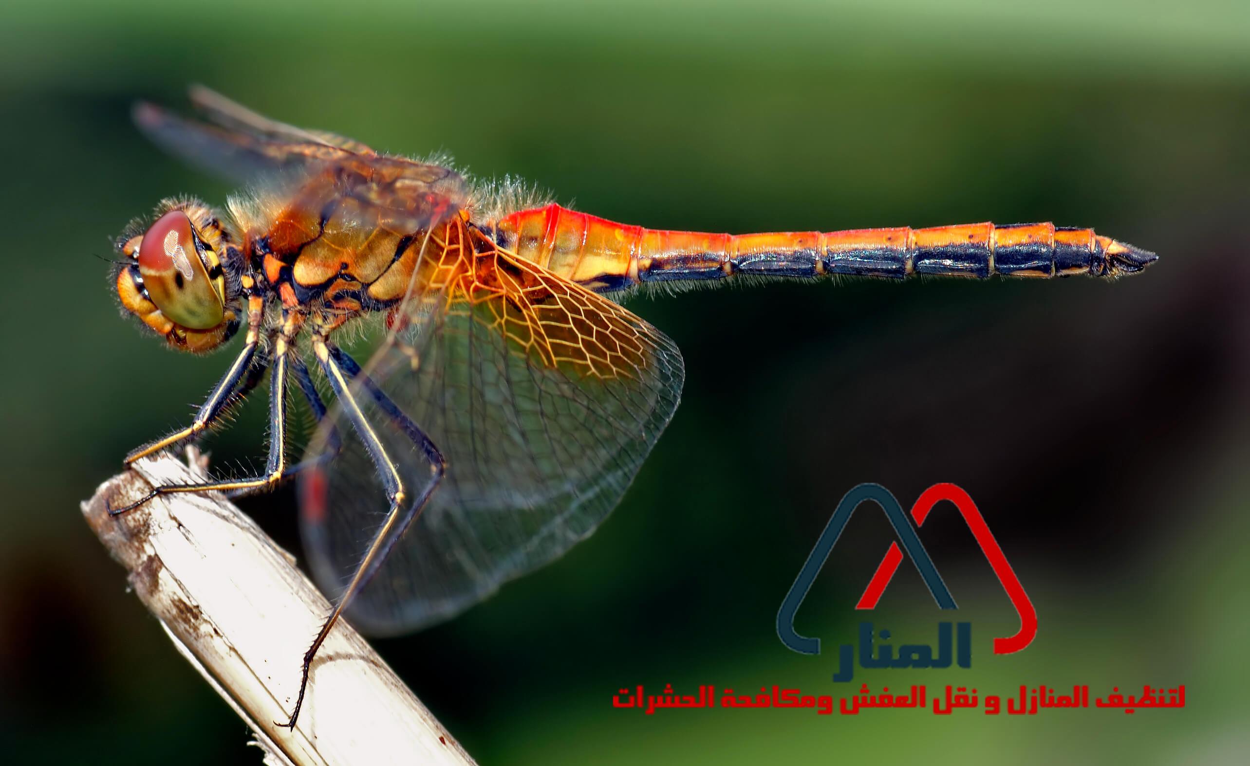 حشرة اليعسوب